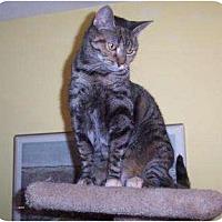 Domestic Shorthair Cat for adoption in Columbus, Ohio - Cosette