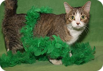 Domestic Shorthair Cat for adoption in Marietta, Ohio - Irish Miss (Spayed)-New Photos