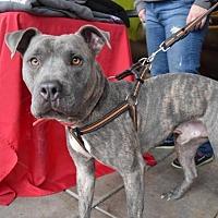 Adopt A Pet :: Dusk - Durham, NC