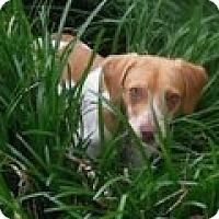 Adopt A Pet :: Phoebe - Melbourne, AR