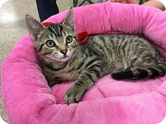 Domestic Shorthair Kitten for adoption in Wilmore, Kentucky - Neptune