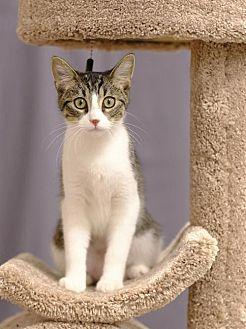 Domestic Shorthair Kitten for adoption in Shakopee, Minnesota - Ramona C1901