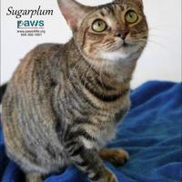 Adopt A Pet :: Sugarplum - Belle Chasse, LA