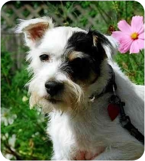 Jack Russell Terrier Mix Dog for adoption in Rhinebeck, New York - Barney