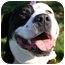 Photo 1 - Greater Swiss Mountain Dog/American Pit Bull Terrier Mix Dog for adoption in Auburn, California - Bailey