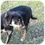 Photo 1 - Hound (Unknown Type)/Shepherd (Unknown Type) Mix Dog for adoption in Sacramento, California - Cona