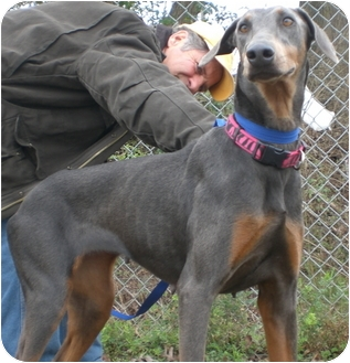 Doberman Pinscher Mix Dog for adoption in Gaffney, South Carolina - Opal