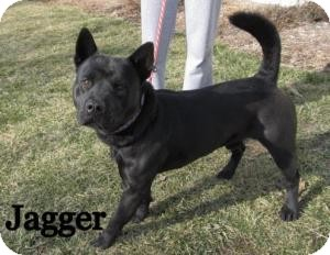 Chow Chow Mix Dog for adoption in Frankfort, Indiana - Jagger