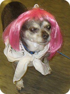 Chihuahua Mix Dog for adoption in Bellingham, Washington - Louise