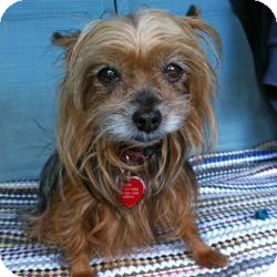 Yorkie, Yorkshire Terrier Dog for adoption in Bunnell, Florida - Contessa