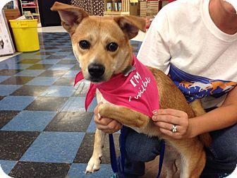 Corgi/Shiba Inu Mix Dog for adoption in Memphis, Tennessee - ELSA