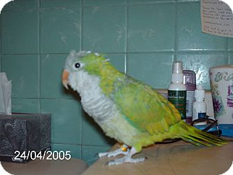 Parakeet - Quaker for adoption in Lombard, Illinois - Riley