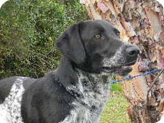 Bluetick Coonhound/Labrador Retriever Mix Dog for adoption in Tyner, North Carolina - Bravo
