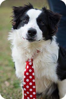 Border Collie Mix Dog for adoption in Denver, Colorado - Crosby