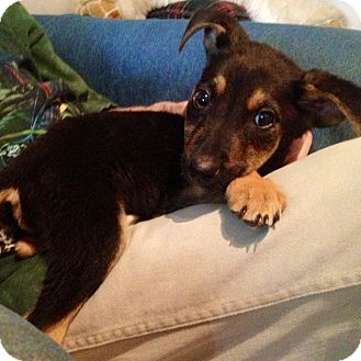 German Shepherd Dog Mix Puppy for adoption in Los Angeles, California - XILOH