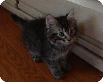 Domestic Mediumhair Kitten for adoption in Hamilton, Ontario - Melody