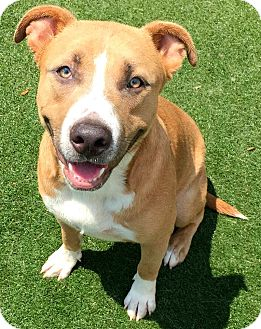 Pit Bull Terrier Mix Dog for adoption in Lake Worth, Texas - King
