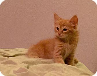 Domestic Mediumhair Kitten for adoption in Newport Beach, California - Fiji