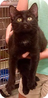 Domestic Shorthair Kitten for adoption in Alexis, North Carolina - Daffney