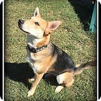 Adopt A Pet :: Sugar - Indian Trail, NC