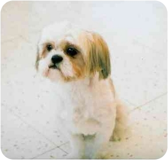 Shih Tzu Dog for adoption in Chicago, Illinois - Blossom(ADOPTED!)