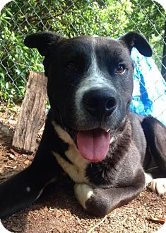 Labrador Retriever/Pit Bull Terrier Mix Dog for adoption in Point Pleasant, Pennsylvania - MR. POODLE-PENDING ADOPTION