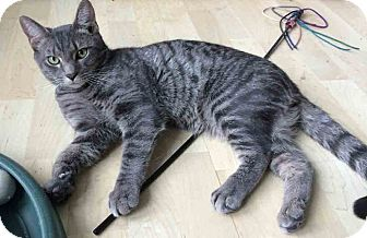 Domestic Shorthair Cat for adoption in Gaithersburg, Maryland - Thor