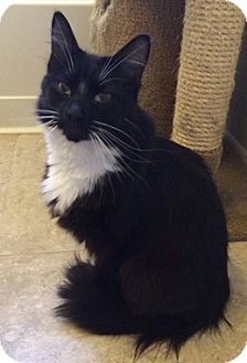 Domestic Mediumhair Cat for adoption in North Highlands, California - Charcole