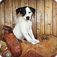 Adopt A Pet :: Dolly - Austin, TX