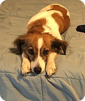 Papillon/Chihuahua Mix Dog for adoption in Mt. Prospect, Illinois - Sadie