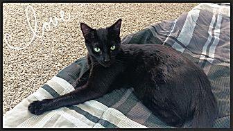 Domestic Shorthair Cat for adoption in Aliso Viejo, California - Romeo