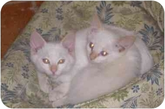 Siamese Kitten for adoption in Thatcher, Arizona - flame point siamese - male