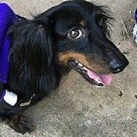 Dachshund Dog for adoption in Houston, Texas - Timmy Timburr