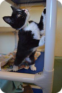 Domestic Shorthair Kitten for adoption in Buena Vista, Colorado - Elf