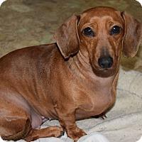Adopt A Pet :: Sugar - Hazard, KY