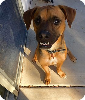 Boxer/Beagle Mix Dog for adoption in Tempe, Arizona - Rusty