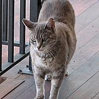 Adopt A Pet :: Gandalf - Pittstown, NJ