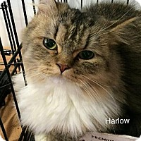 Adopt A Pet :: Harlow (part of bonded pair) - Irvine, CA