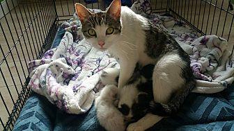 Domestic Shorthair Cat for adoption in Lancaster, California - Esmeralda