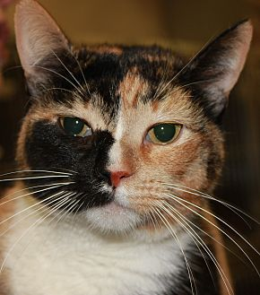 Domestic Shorthair Cat for adoption in Clayton, New Jersey - ROSE