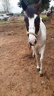 Paint/Pinto for adoption in Guthrie, Oklahoma - Lady Bug