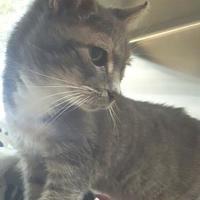 Adopt A Pet :: Pebbles - Miami, FL