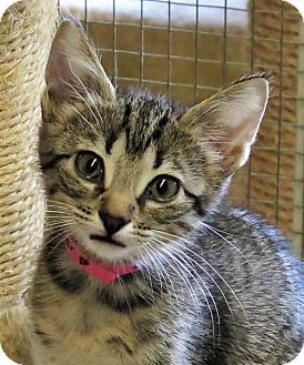 Domestic Shorthair Cat for adoption in Gonzales, Texas - Petunia