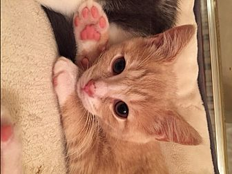 Domestic Shorthair Kitten for adoption in Little Falls, New Jersey - Crosby (LE)