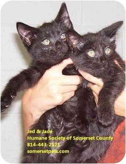 Domestic Shorthair Kitten for adoption in Somerset, Pennsylvania - Jed