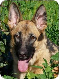 German Shepherd Dog Dog for adoption in Los Angeles, California - Leilani von Graulich