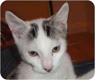 Domestic Shorthair Kitten for adoption in Irvine, California - Dotty