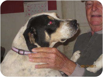 Bluetick Coonhound/Boxer Mix Dog for adoption in Afton, Tennessee - Love Bug