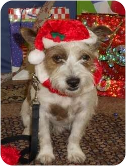 Terrier (Unknown Type, Small)/Lhasa Apso Mix Dog for adoption in Lockhart, Texas - Wrangler