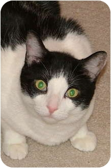 Domestic Shorthair Cat for adoption in Chattanooga, Tennessee - Daphne